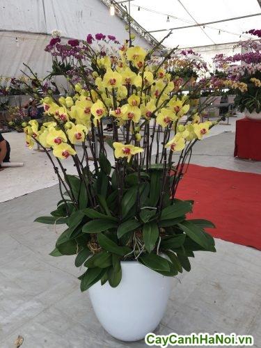 Hoa Lan Hồ Điệp – Loài hoa phong thủy đẹp